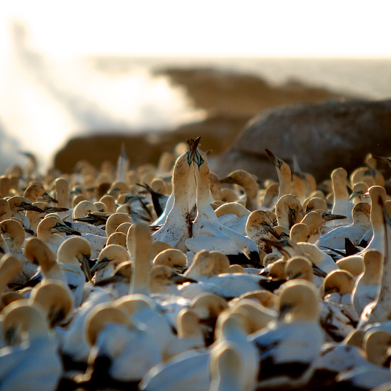 Cape Gannets in Love