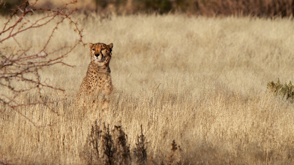 Female cheetah basks in the sun