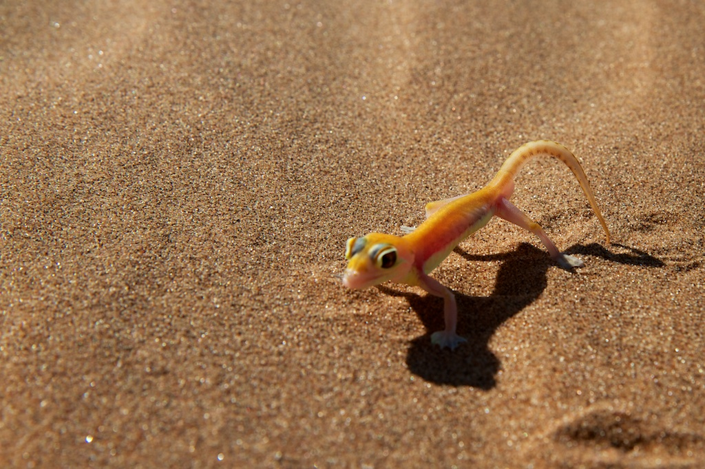 Small Gecko on the sands of Namibia