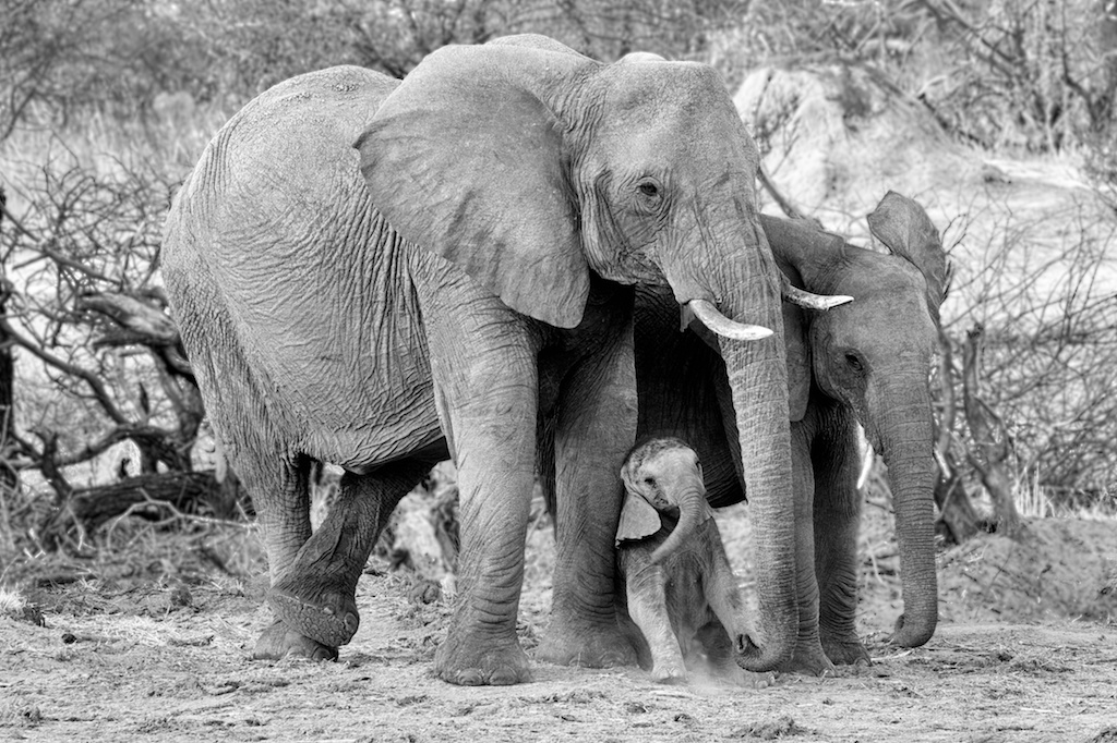 Elephant Family Portrait