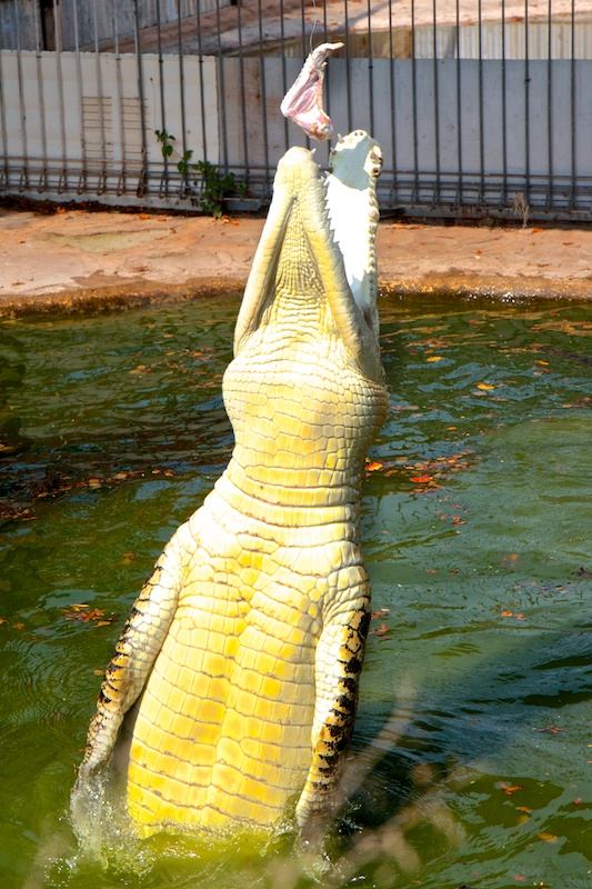 Lunch Time For A Croc...