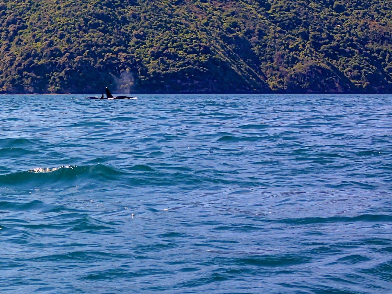 Kayaking with Orcas in Queen Charlotte Sound