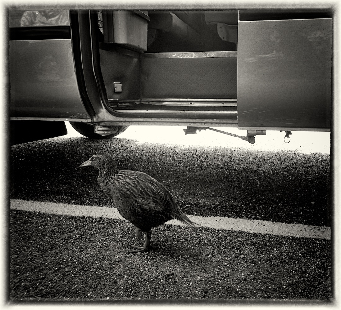 Weka flightless bird considers boarding our tour bus