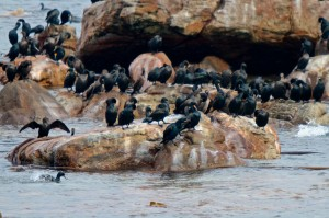 Cape Cormorants resting on the rocks at Cape Point near Cape Town, South Africa