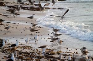 Kelp Gull &