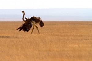 Male Ostrich, Masai Race