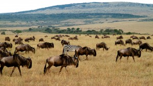 A single zebra in a implausibility of Wildebeests. Yes a group of Wildebeests is called an implausibility. (Maasi Mara NP, Kenya)