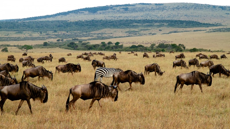 A single zebra in an implausibility of Wildebeests. Yes a group of Wildebeests is called an implausibility. (Maasi Mara NP, Kenya)