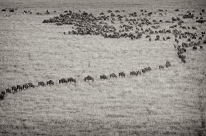 Wildibeasts line up to continue on there migration journey in the Maasai Mara National Reserve (Kenya)