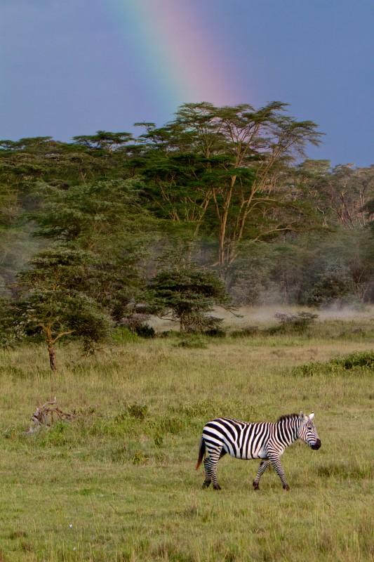 Single zebra and rainbow in Lake Nakuru NP, Kenya