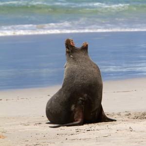 Sea lion on Kangaroo Island off the coast of Australia