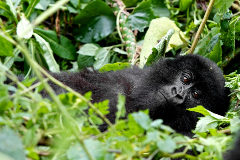 A relaxed mountain gorilla in Rwanda's volcanoes national park